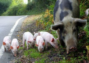 Pigs by Gillian Moy 2